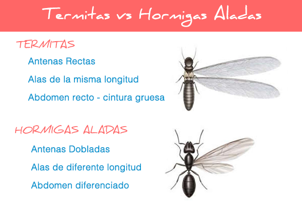 Termitas aladas y hormigas voladoras como diferenciarlas