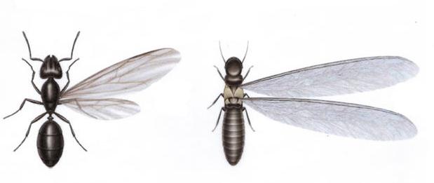 Termitas aladas y hormigas con alas como diferenciarlas y eliminar las termitas en ciudades de España